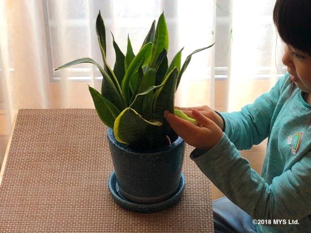 椅子に座り、サンスベリアの葉を拭く子供